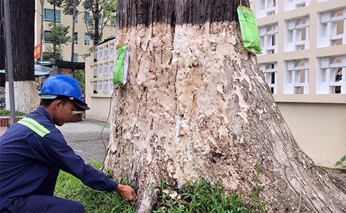 Công nhân cây xanh truyền chất dinh dưỡng trực tiếp cho các cổ thụ suy kiệt. Ảnh: Cửu Long.