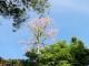 Cây Ngô Đồng trổ bông rực rỡ ở công viên Tứ Tượng, Huế. (Ảnh: Thúy Khanh/ Tạp chí Tài Hoa Trẻ)